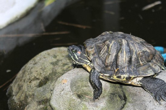 El Dorado Beach Resort: a turtle in one of the water features