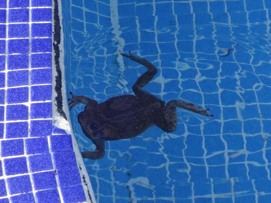 Chachagua Rainforest Eco Lodge : Creature in the pool