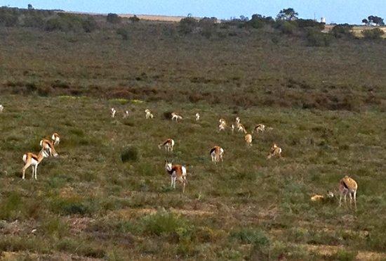 Buffelsfontein : Springbok herd