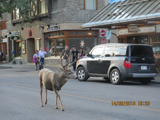 Banff Park Lodge Resort and Conference Centre: Wild life in the Main Street of Banff