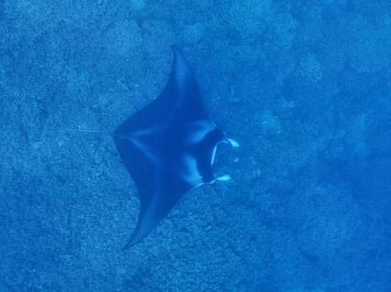 Pure Snorkeling by Reef Discovery: Heaps of Manta rays.