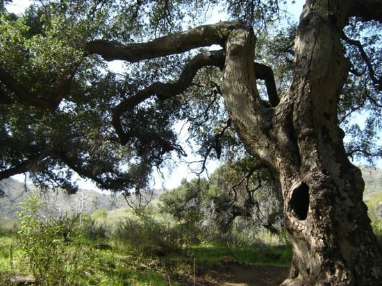 Solstice Canyon : If trees could talk