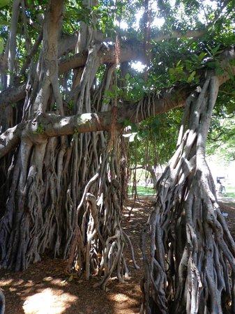 Kapiolani Park: Banyan Tree