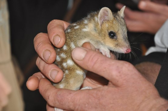Tasmanian Devil Unzoo : Baby quoll!