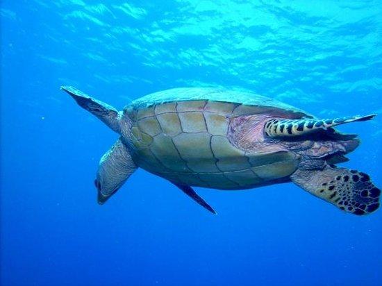 Roatan Eco Tour. Snorkeling Tours: Roatan turtle