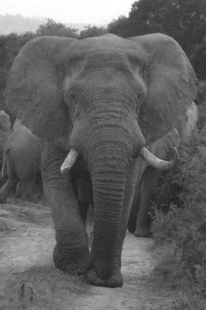 Kariega Ukhozi Lodge: The big bull