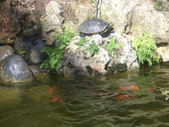 Macdonald Leila Playa Club: terrapin and goldfish in pools