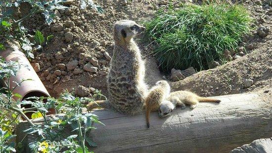 Lincolnshire Wildlife Park: Meerkat and meerkits.