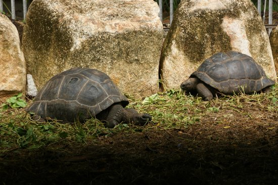 Le Duc de Praslin: Turtles ( pity they are in such a small pen)