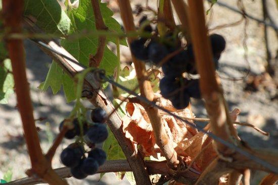 Gundlach Bundschu Winery: GB grapes