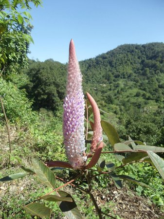 Kep, Cambodge : Wild flower