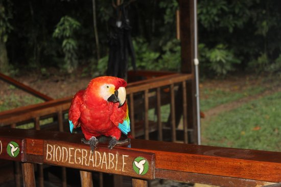 Tambopata Research Center : Visit from a friendly macaw