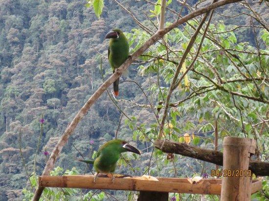 San Jorge de Tandayapa Hummingbird Sanctuary & Lodge: Crimson-rumped Toucanet