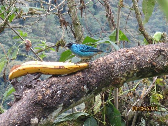 San Jorge de Tandayapa Hummingbird Sanctuary & Lodge: Golden-naped Tanager at feeder