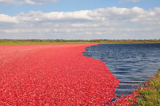 Wisconsin Rapids, WI: A sea of cranberries during harvest
