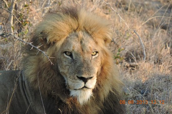 nThambo Tree Camp: lion