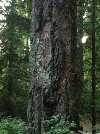 Goldstream Provincial Park: Camp sight tree