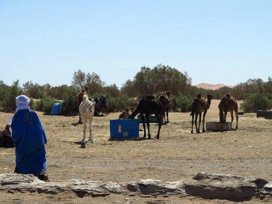 Dream of Morocco - Day Tours: The camels are being fed for the trip!