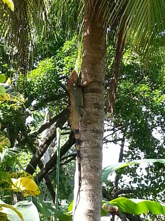 PorQueNo?: Large Iguanas fill the trees