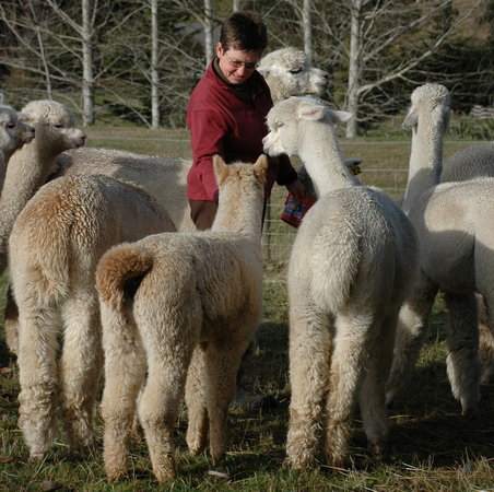 Honeyfields Alpacas Farm: Feeding the alpacas