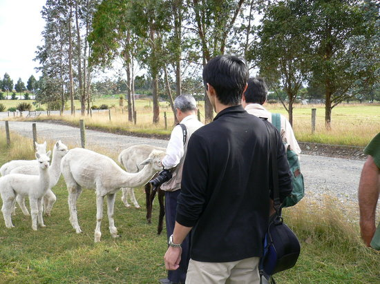 Honeyfields Alpacas Farm: Feeding alpacas at Honeyfields