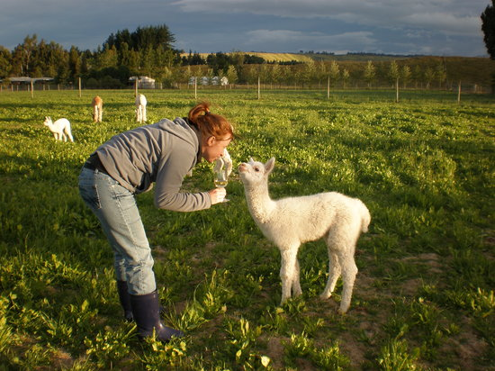 Honeyfields Alpacas Farm: Chatting with a baby alpaca