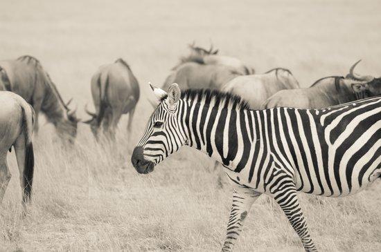Gamewatchers Adventure Camp, Selenkay: Zebra and wildebeest roaming Amboseli