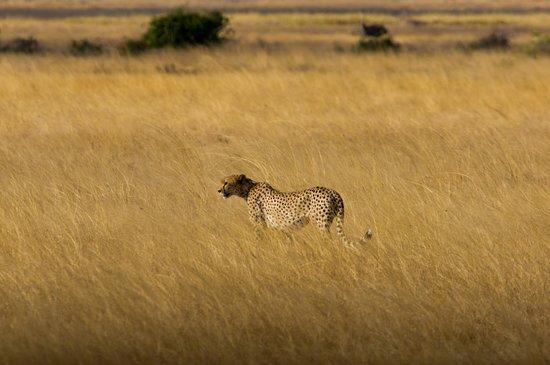 Gamewatchers Adventure Camp, Selenkay: Cheetah roaming as the sun goes down