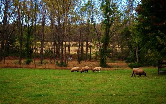 Woolverton Inn: Sheep