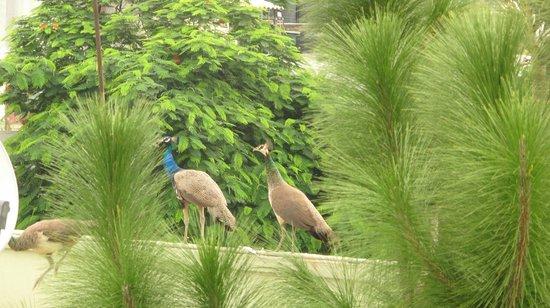 Nina Kochhar Bed & Breakfast: Peacocks on the grounds