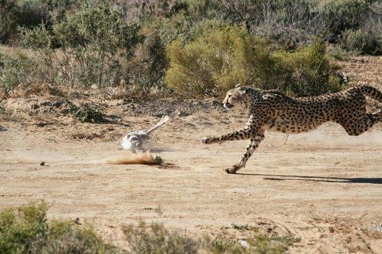 Inverdoorn Game Reserve: Cheetah run
