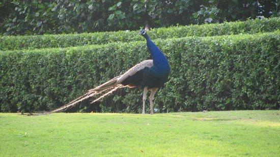 โรงแรมดิ โอเบรอย อุไดวิลาส อุไดพูร์: Peacock on the lawns
