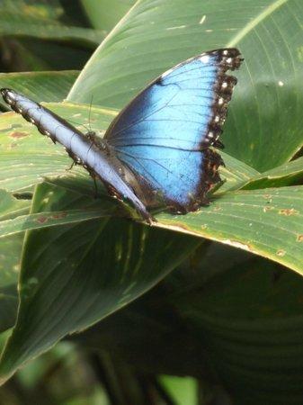 Mariposa Bed & Breakfast: papillon morpho dans le jardin