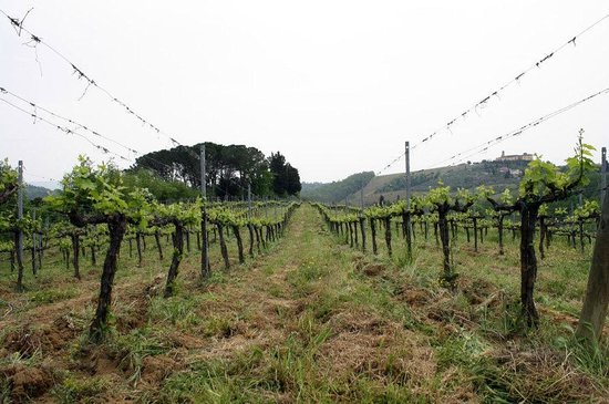 Agriturismo Poggiacolle: Weinanbau in direkter Nähe