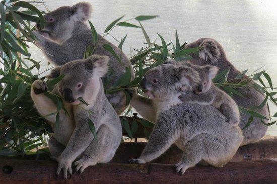 koalas feeding foto di cohunu koala park byford. Black Bedroom Furniture Sets. Home Design Ideas