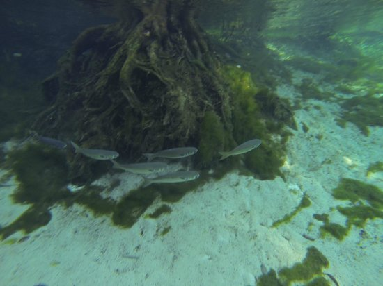 Plantation on Crystal River : Fish in 3 Sister Springs