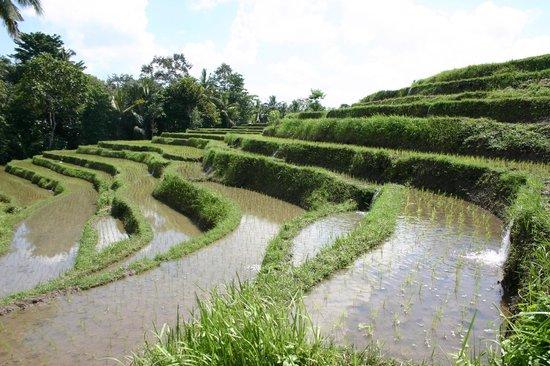 Villa Taman di Blayu : Rizières accessibles à pied de l''hotel