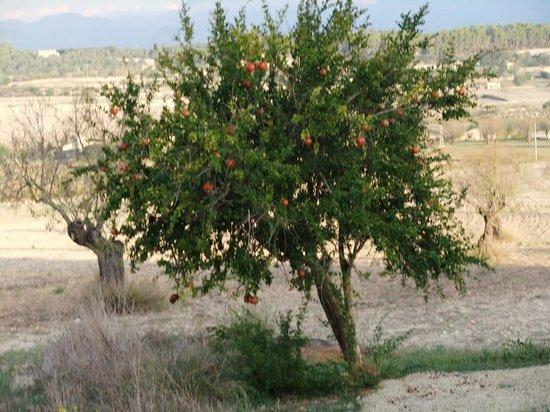 Agroturismo sa Rota d'en Palerm: Granatapfelbaum vor unserem Fenster