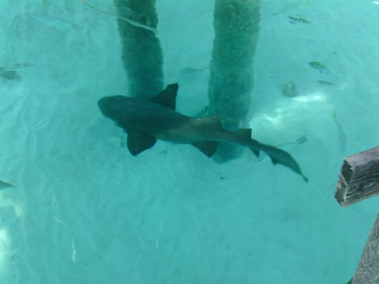 Nurse Sharks at Staniel Cay Yacht Club - Picture of Exuma