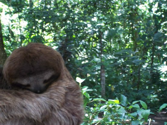 Cashew Hill Jungle Cottages: Sleeping sloth