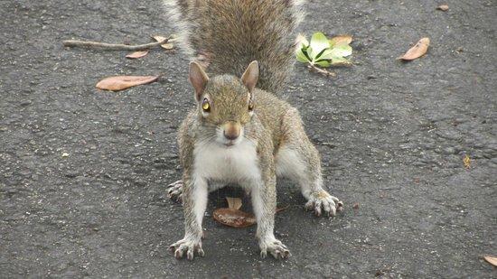 La Quinta Inn & Suites Ft. Lauderdale Plantation: Squirrel in the parking lot