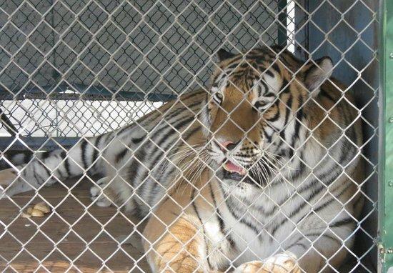 Hunsader Farms: Tiger