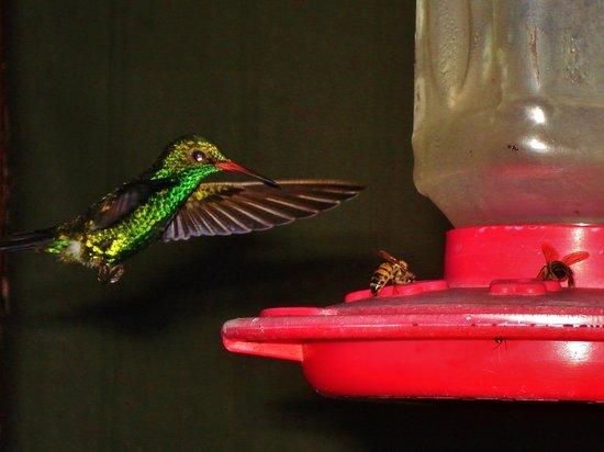 CoCo View Resort: Amazing Hummingbirds