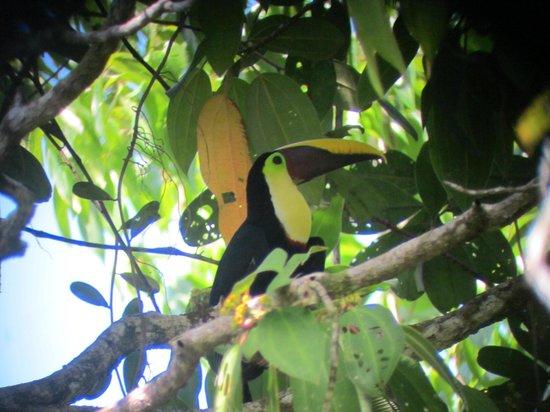 Corcovado National Park: Toucan