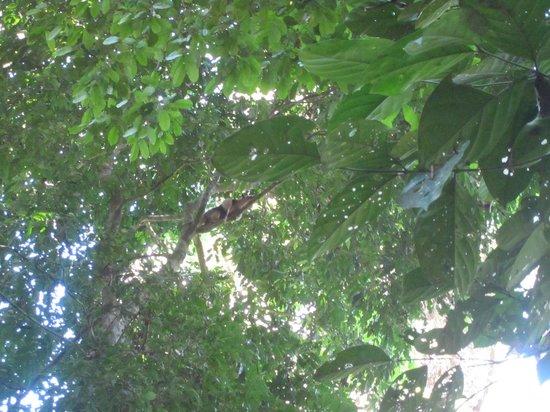 Corcovado National Park: Silky tamandua