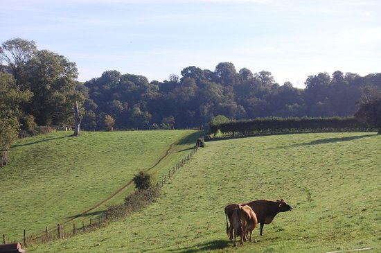 Sharpham Wine and Cheese: Sharpham Jersey cows the one that are responsible for the delicious cheese