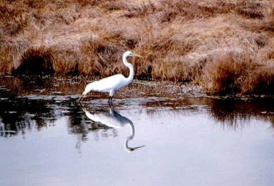 Chincoteague National Wildlife Refuge : Heron