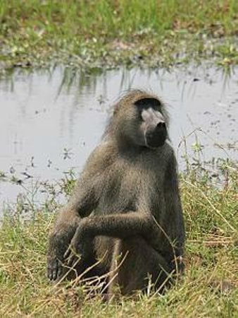 Wilderness Safaris Ruckomechi Camp: baboon next to the camp