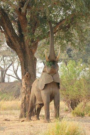 Wilderness Safaris Ruckomechi Camp: stretching elephant
