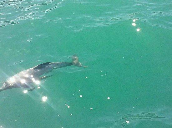 Black Cat Cruises: Hectors Dolphin